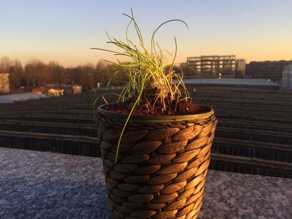 Ciuffetto di erba cipollina