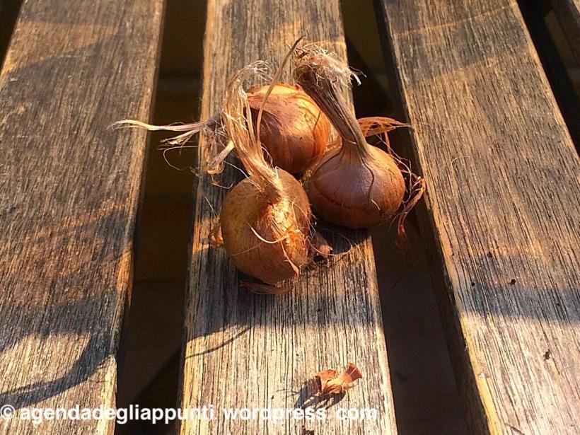 coltivare zafferano in vaso sul balcone
