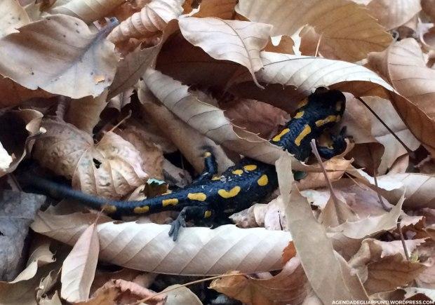 salamandra in libertà boschi val pellice