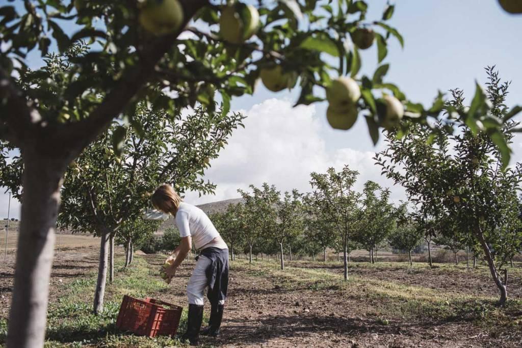 un bracciante tra alberi di mele
